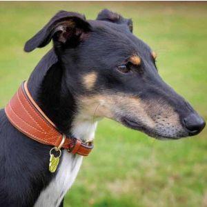 Digby & Fox Padded Greyhound Collar